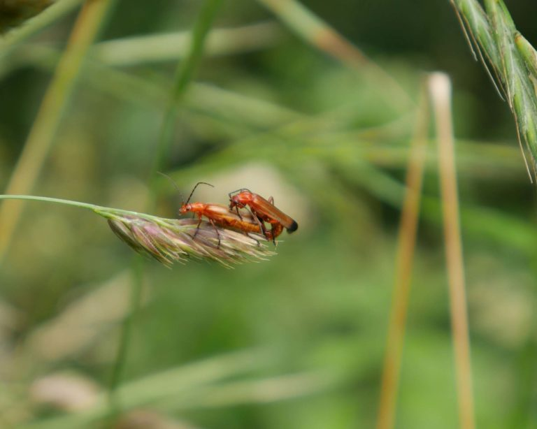P1000399_Soldier_beetles_mating_b
