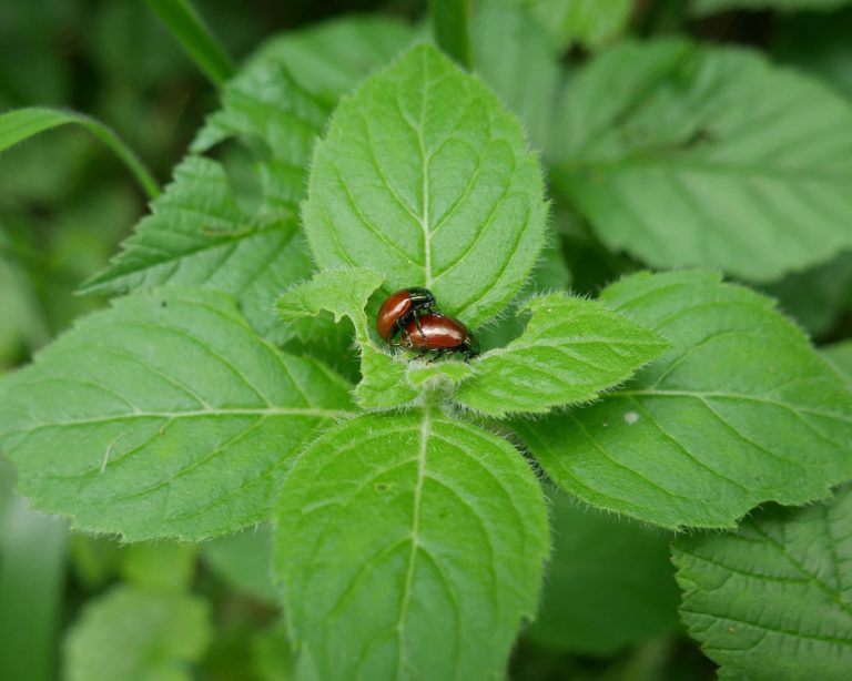 P1000463_Knotgrass_leaf_beetle_mating