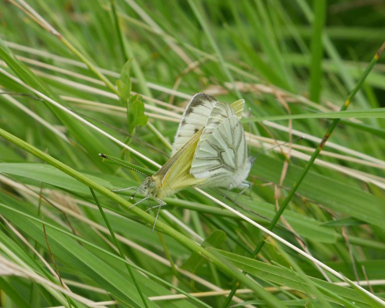 P1000498_Green-veined_white_mating_b