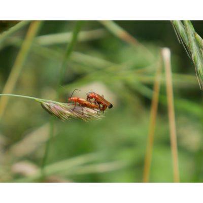 Arthropods – Steyning, England, Soldier beetles (2016)