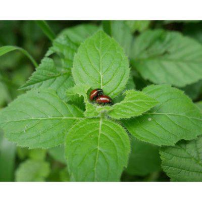Arthropods – Steyning, England, Knotgrass leaf beetles (2016)