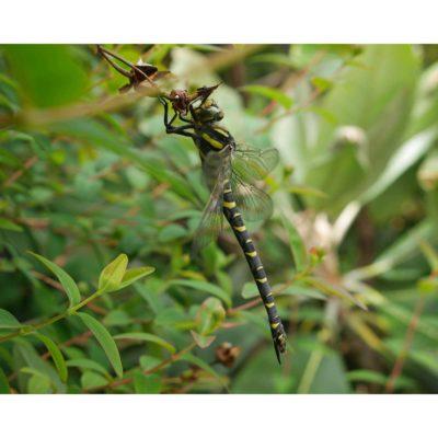 Arthropods – Golden-ringed Dragonfly sleeping 02, Arran, Scotland (2018)