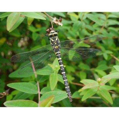 Arthropods – Golden-ringed Dragonfly sleeping 01, Arran, Scotland (2018)