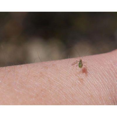Arthropods – Greenfly, Arran, Scotland (2018)